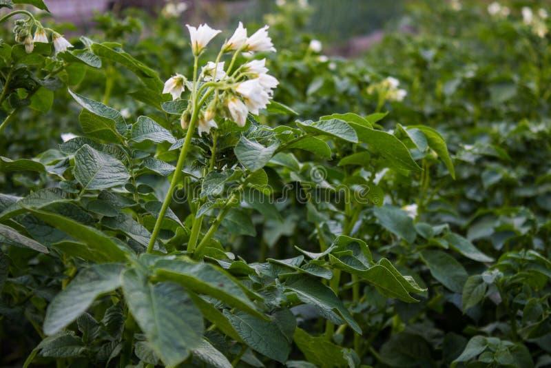 Cime della patata con i fiori bianchi nel primo piano del giardino immagine stock