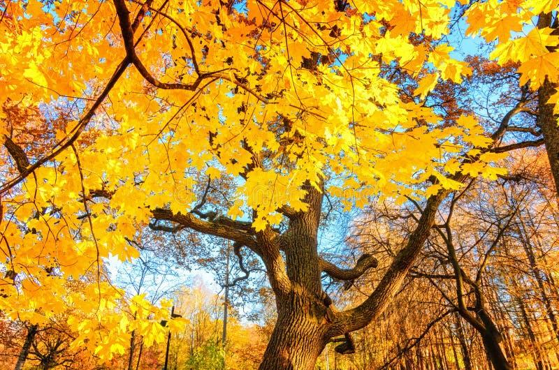 Cime gialle degli alberi di acero di autunno con le foglie dorate di autunno contro il cielo blu nel giorno dell'autunno - fondo  immagini stock