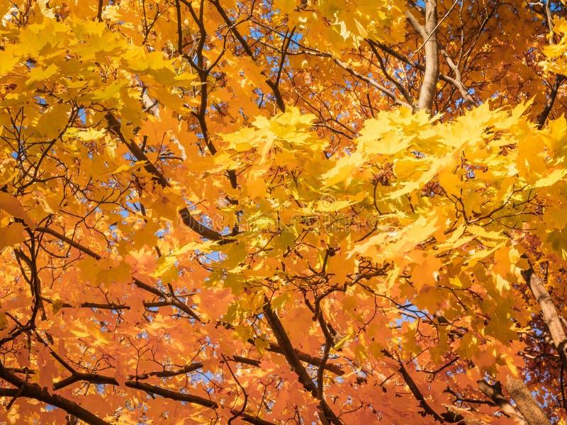 Cime gialle degli alberi di acero di autunno con le foglie dorate di autunno contro il cielo blu nel giorno dell'autunno - fondo  fotografia stock libera da diritti