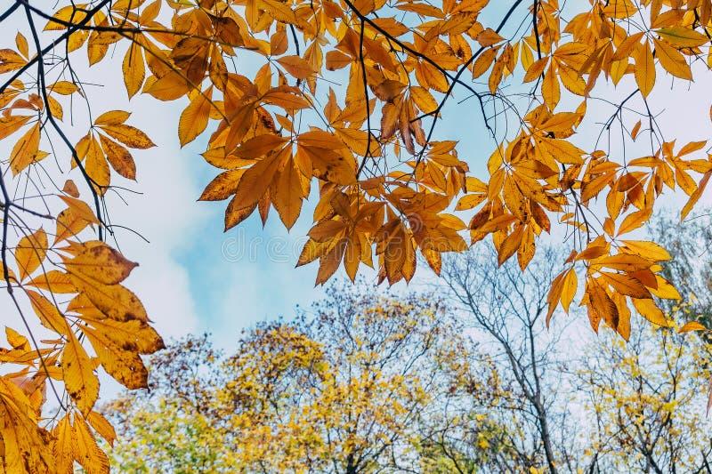 Cime ingiallite degli alberi forestali di autunno con le foglie dorate di autunno che estendere al cielo blu nel giorno dell'autu fotografia stock