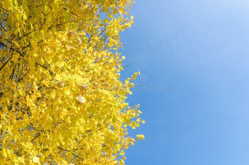 Cime ingiallite degli alberi forestali di autunno con le foglie dorate di autunno che estendere al cielo blu nel giorno dell'autu immagine stock libera da diritti