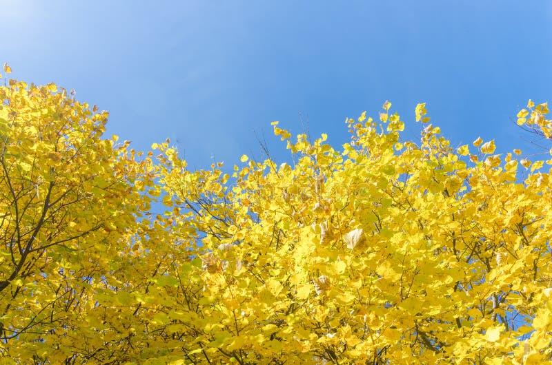 Cime ingiallite degli alberi forestali di autunno con le foglie dorate di autunno che estendere al cielo blu nel giorno dell'autu fotografia stock libera da diritti