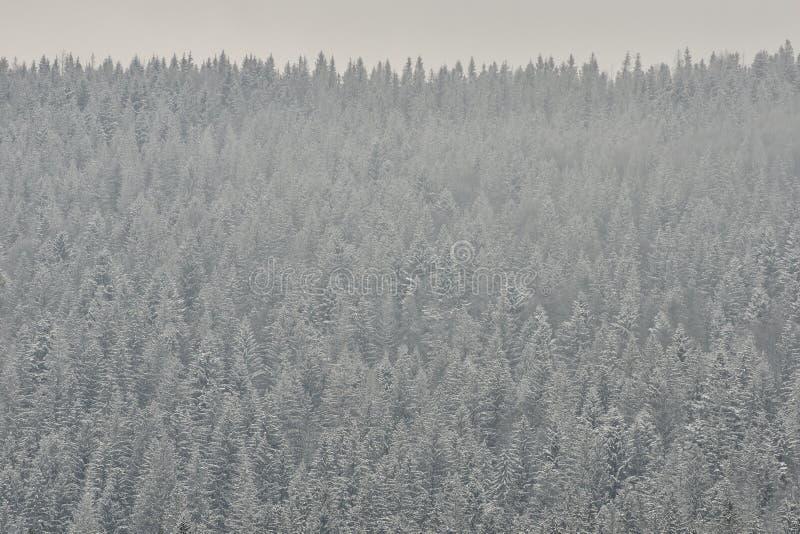 Cime innevate degli abeti Terre spesse di inverno della foresta di conifere immagine stock libera da diritti