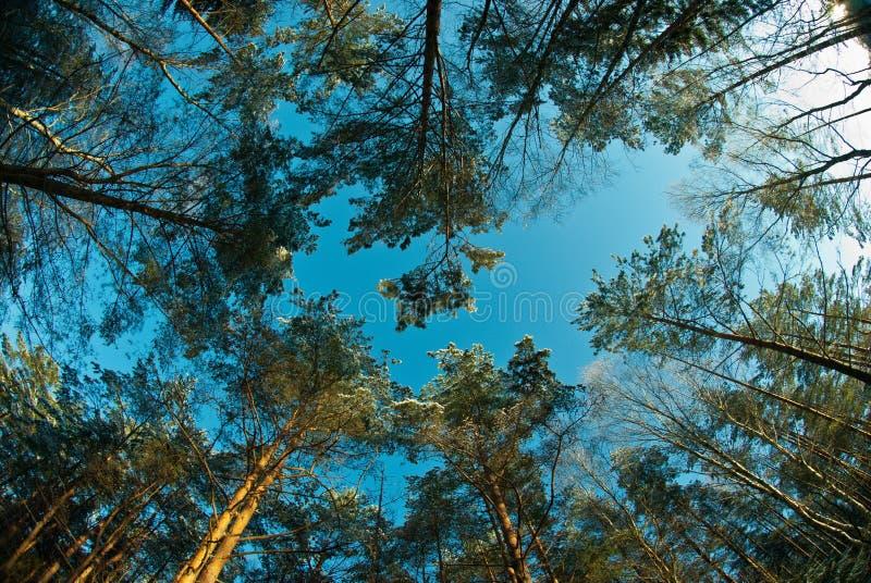 Cime innevate degli alberi fotografia stock libera da diritti