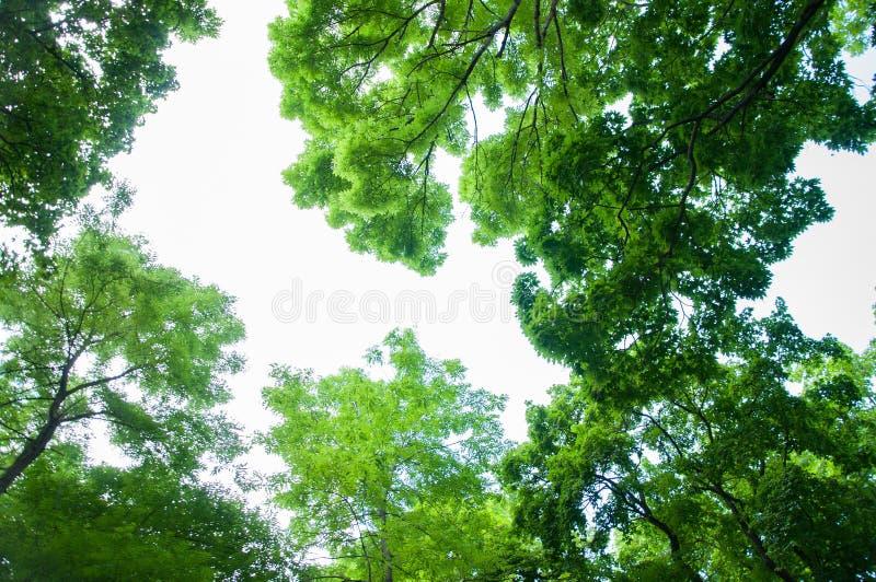 Cime verde intenso degli alberi contro il cielo di estate fotografia stock