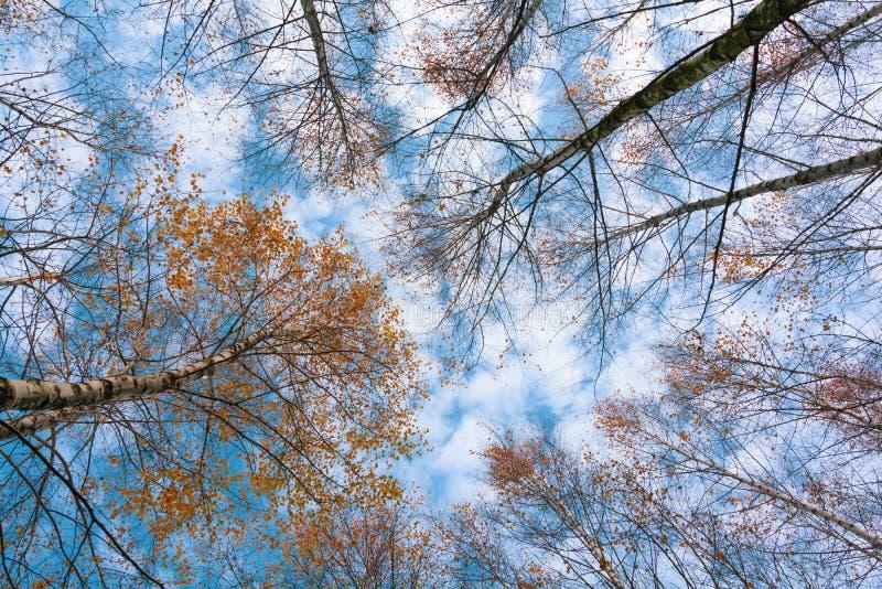 Cimes d'arbre de bouleau d'automne en ciel et nuages de forêt de chute par les branches d'arbre d'automne de dessous Fond de feui image stock