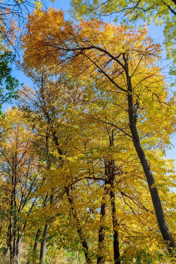 Cimes d'arbre pendant l'automne d'or photographie stock libre de droits