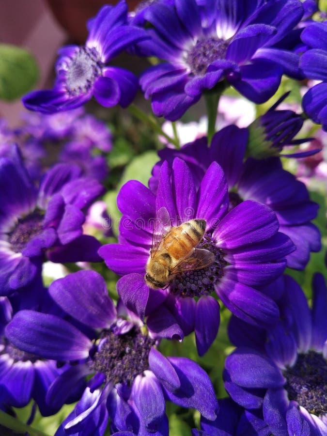 Cinéraire pourpre avec une abeille suçant son nectar image stock