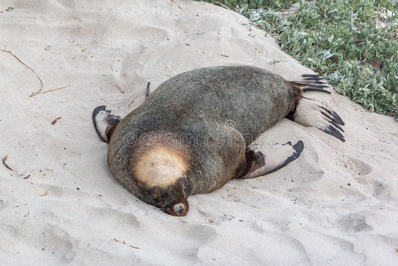 Cinarea australiano de Neophoca del león marino dormido en el parque de la protección de la bahía del sello imagen de archivo