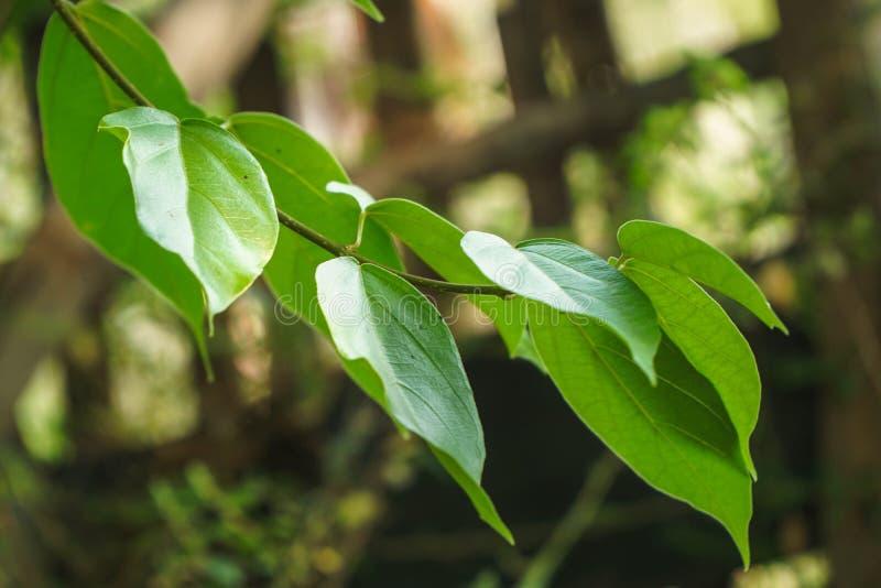 Cincau выходит/Cylea Barbata Myers или студень зеленой травы стоковое изображение rf