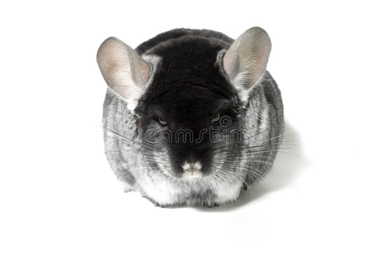 Cinchilla. Chinchilla on the table stock images
