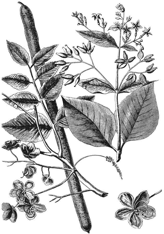 Free Cinchona Tree. Casse Stock Images - 45690144