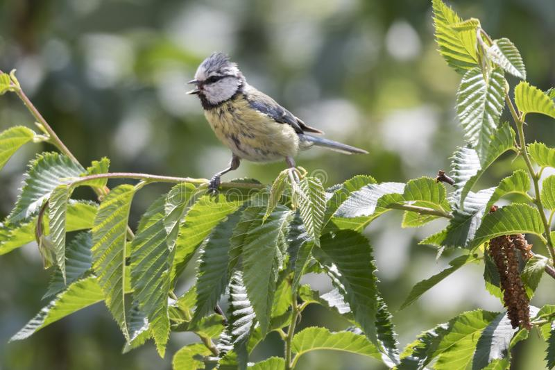 cinciarella蓝冠山雀鸟.结黄蜂,鸟的v雀鸟人的.避免构树图片