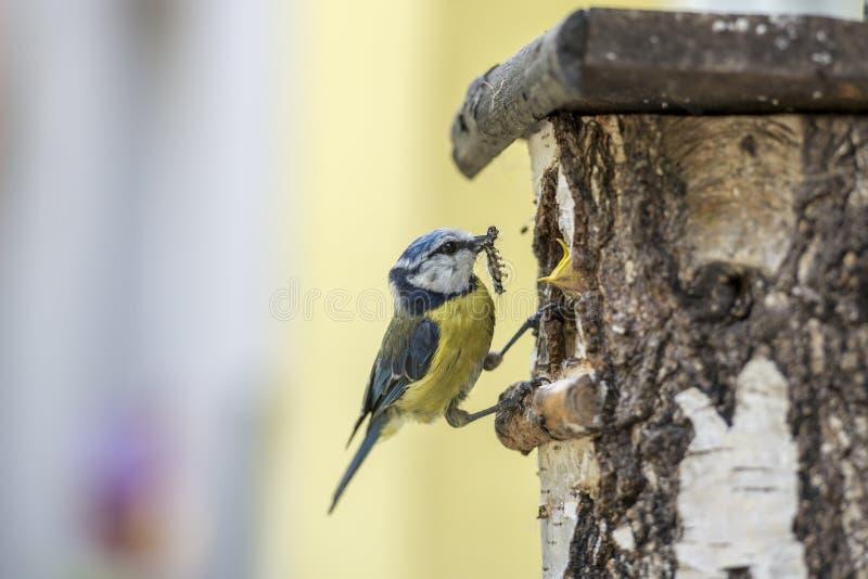 Cinciarella ad un nido per deporre le uova che alimenta i suoi giovani con il trattore a cingoli immagini stock libere da diritti