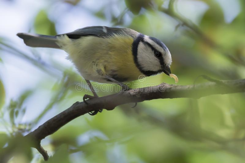 Cinciarella blue tit bird with worm in the beak royalty free stock images