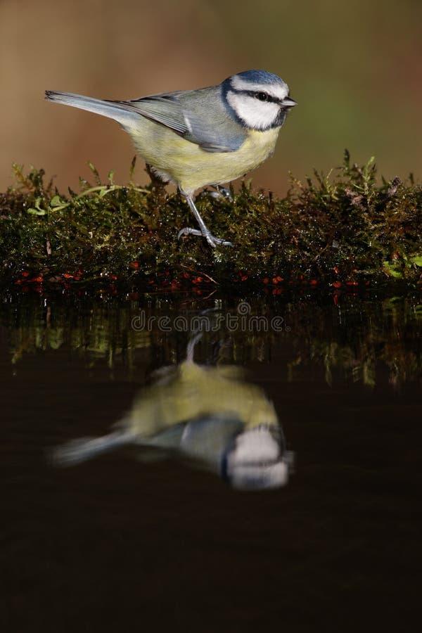 Cinciarella, caeruleus del Parus fotografia stock