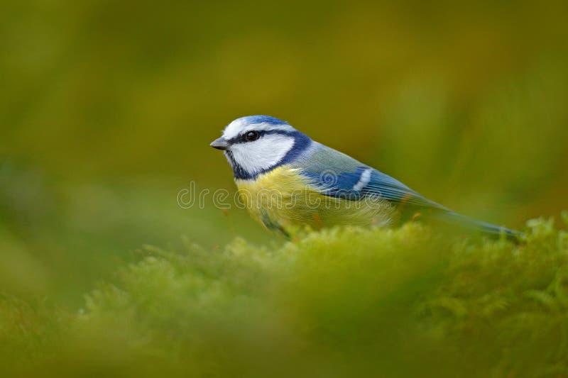 Cinciarella nell'habitat della natura Cinciarella, uccello canoro blu e giallo sveglio in autunno, ramo verde piacevole del musch immagine stock libera da diritti