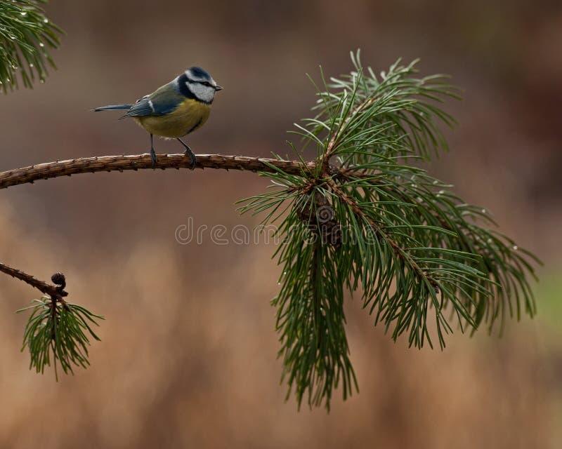 Cinciarella su un ramo del pino fotografia stock libera da diritti
