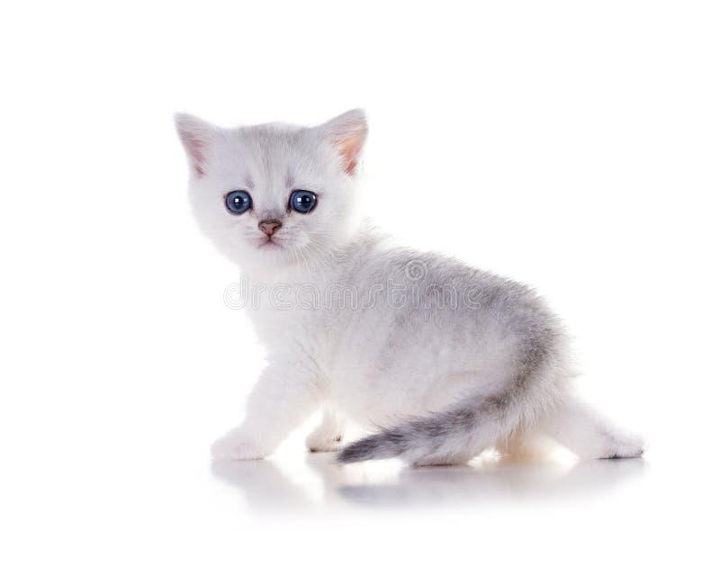 Cincillà mensile di Britannici Shorthair del gattino Isolato su priorità bassa bianca immagine stock