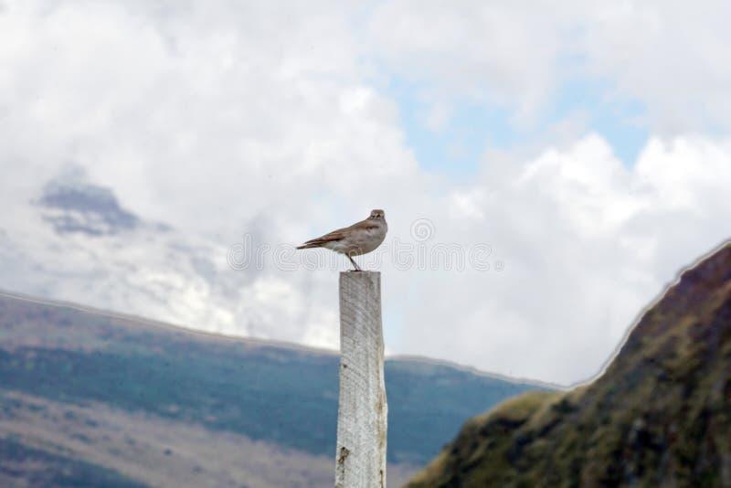 cinclodes Castaña-cons alas en posts fotos de archivo libres de regalías