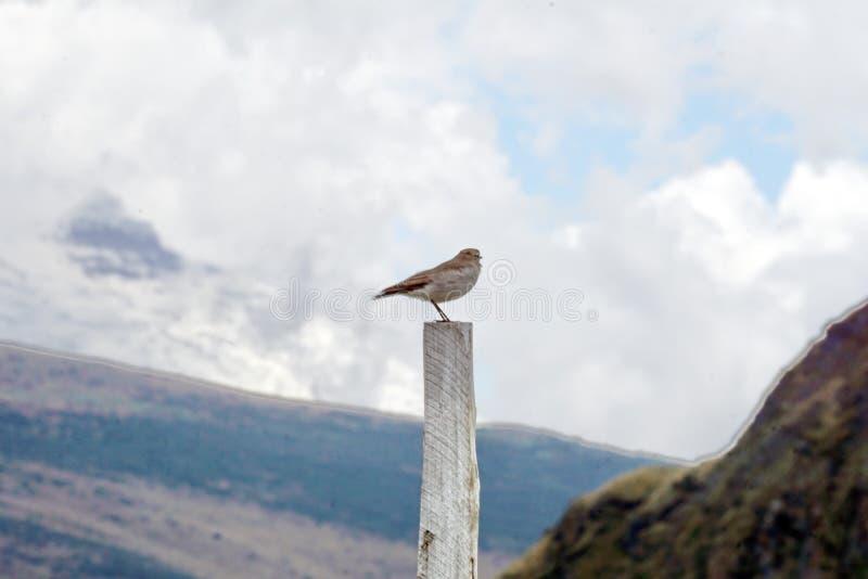 cinclodes Castaña-cons alas en posts foto de archivo libre de regalías