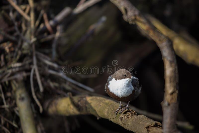 Cinclus cinclus,白红喉刺莺的浸染工在他的自然生态环境 免版税库存照片