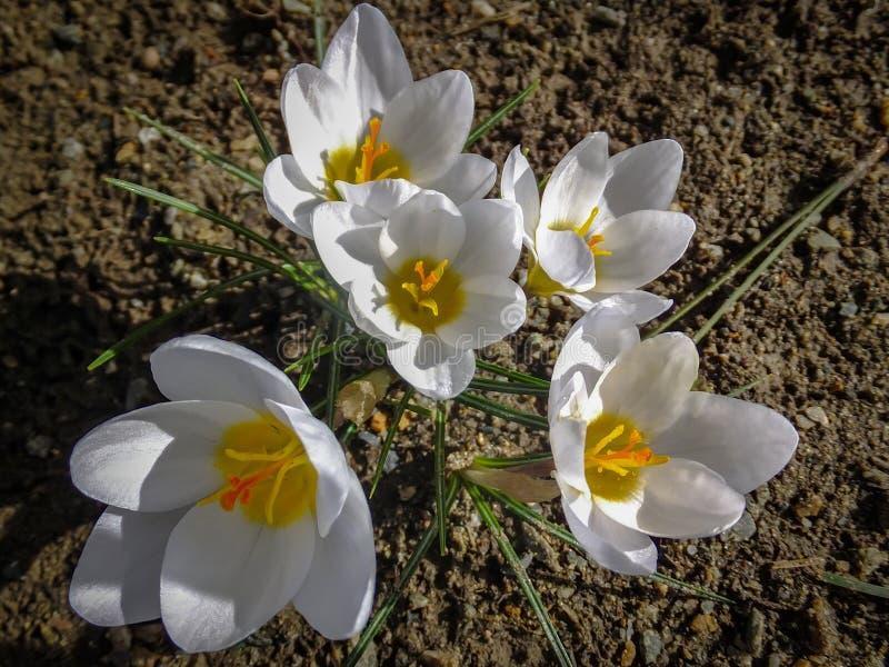 Cinco açafrões brancos Ard Schenk em um fundo natural da terra marrom da floresta foto de stock royalty free