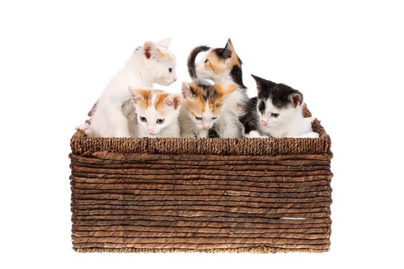 Cinco bonitos, dois meses de gatinhos velhos da chita em uma cesta de vime, isolada no branco Irmãos curiosos do gato do bebê, ol foto de stock