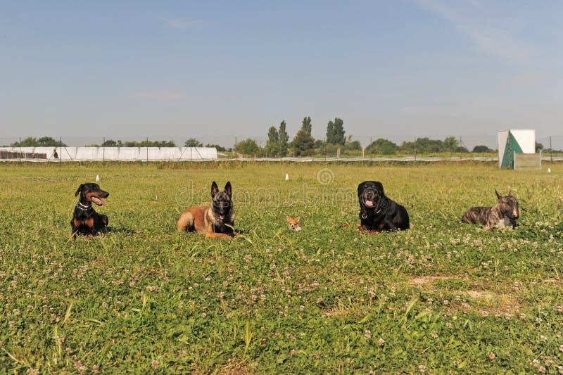 Cinco cães foto de stock