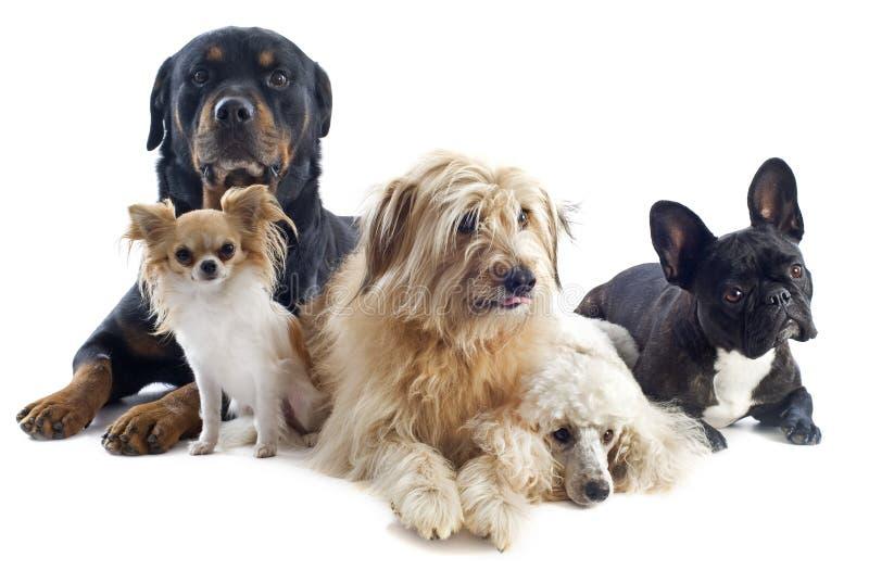 Cinco cães fotografia de stock