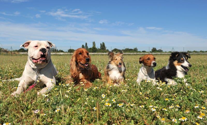 Cinco cães imagem de stock royalty free