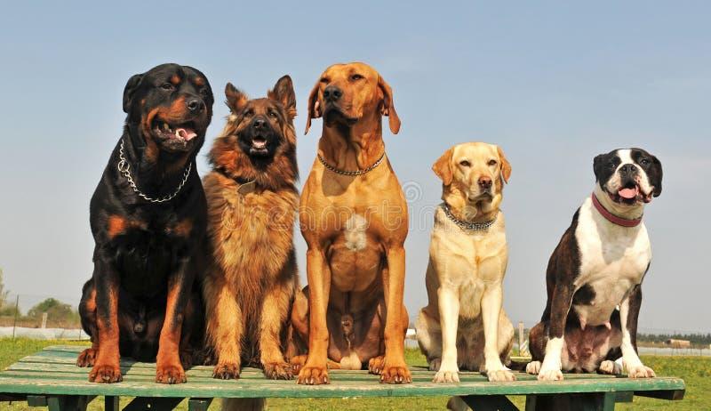 Cinco cães grandes imagens de stock royalty free