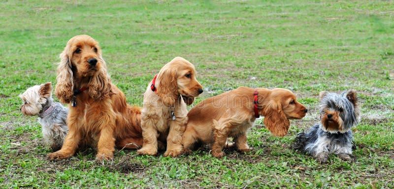 Cinco cães pequenos foto de stock