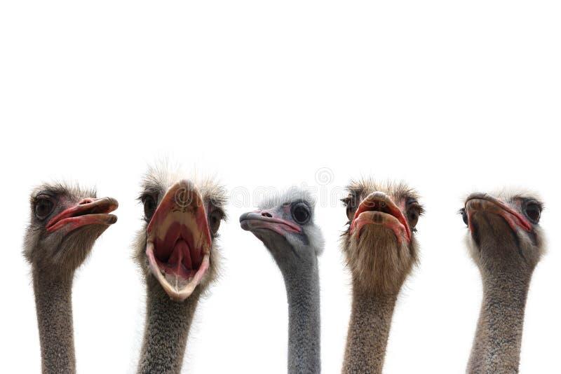 Cinco cabeças da avestruz fotografia de stock royalty free