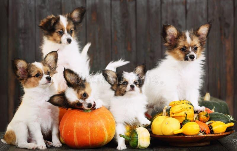 Cinco cachorrinhos com abóboras Halloween imagem de stock