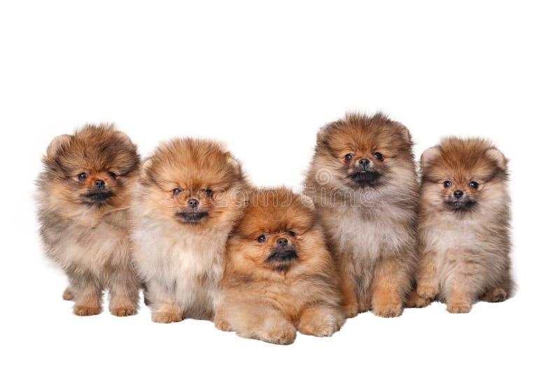 Cinco cachorrinhos peludos do Spitz no fundo branco fotografia de stock