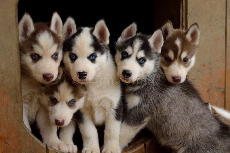 Cinco cachorrinhos roncos doces imagens de stock