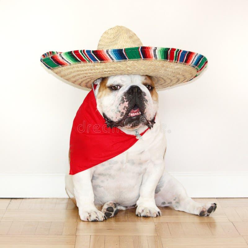 Cinco de Mayo Bulldog fotos de archivo libres de regalías