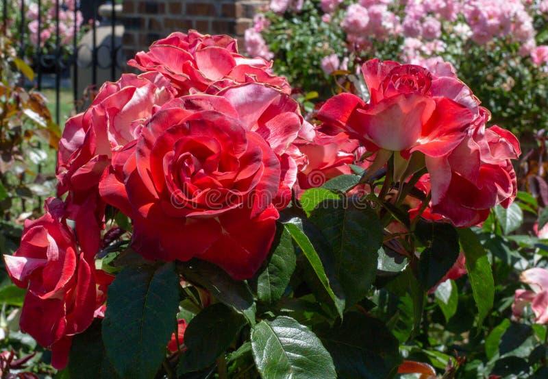 Cinco de Mayo Floribunda róż San Jose ogród różany, San Jose, Ca zdjęcia stock