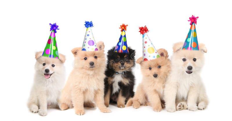 Cinco filhotes de cachorro de Pomeranian que comemoram um aniversário imagens de stock royalty free