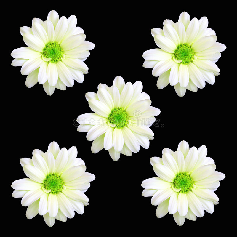 Cinco Flores De La Margarita Imagen de archivo libre de regalías