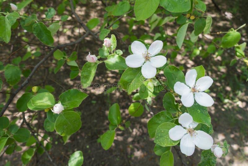 Cinco flores de los pétalos y brotes de membrillo fotos de archivo libres de regalías