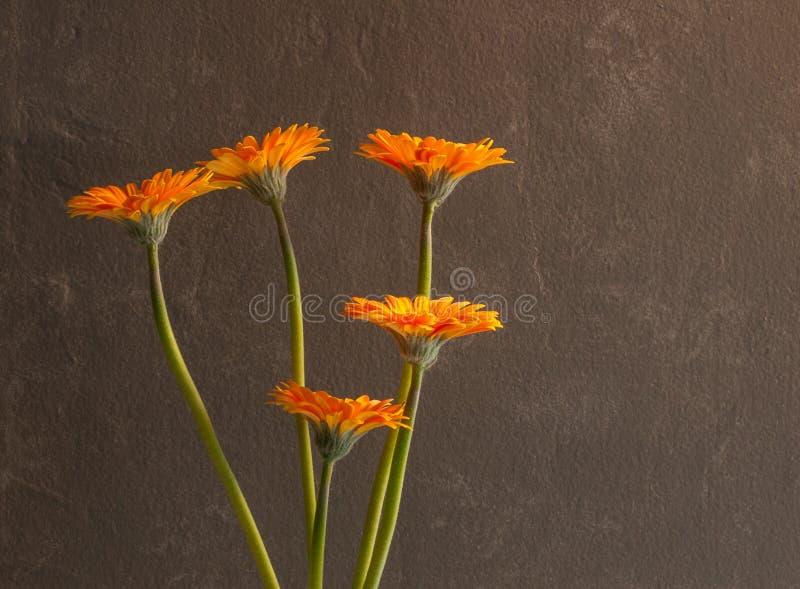 Cinco flores do Gerbera contra uma parede cinzenta textured foto de stock