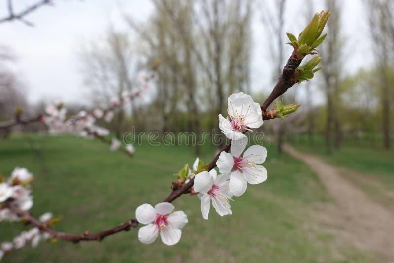 Cinco flores petaled de albaricoque en primavera fotografía de archivo