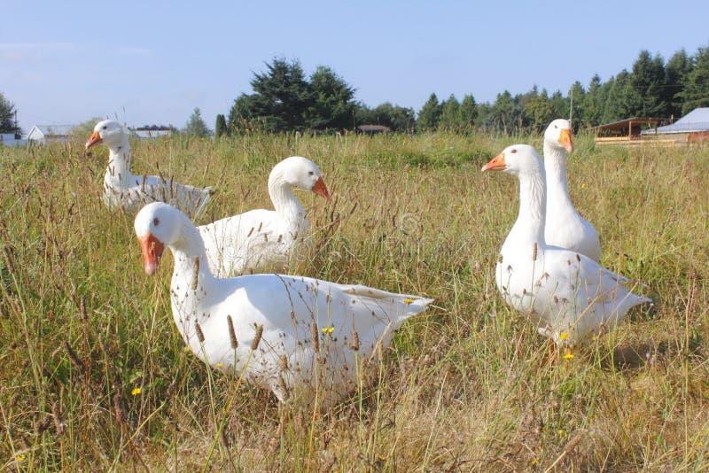 Cinco gansos blancos imagen de archivo libre de regalías