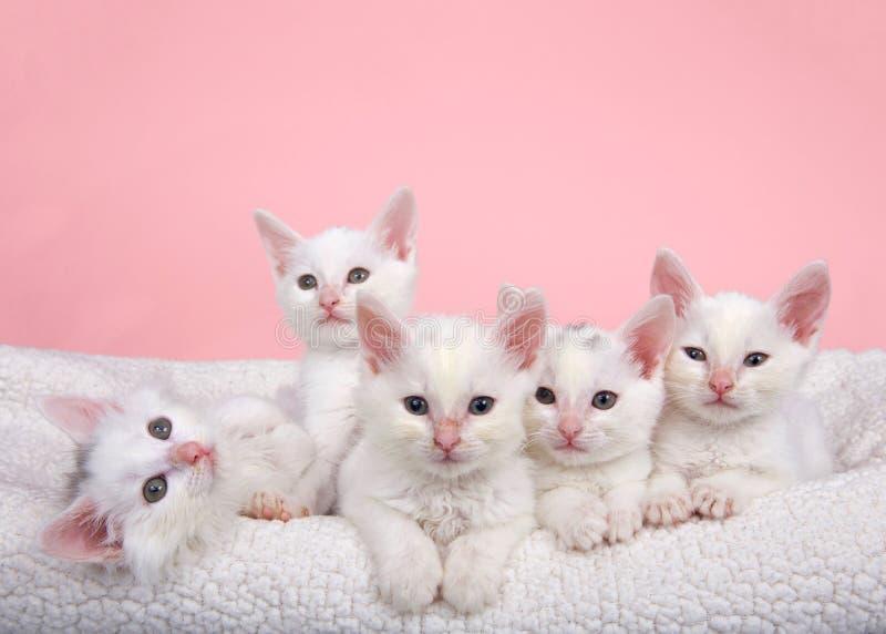Cinco gatinhos brancos na cama fotografia de stock royalty free