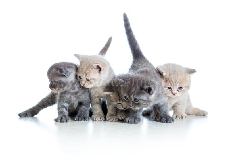 Cinco gatitos escoceses divertidos en blanco fotografía de archivo