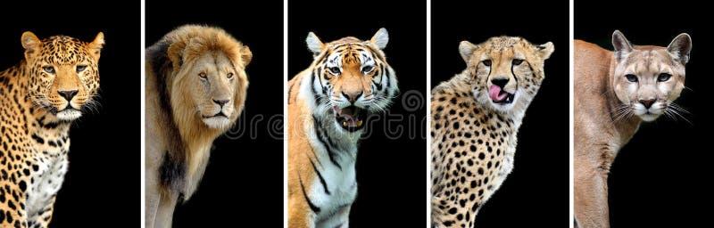 Cinco gatos salvajes grandes fotos de archivo