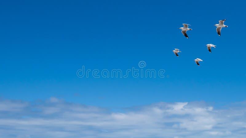 Cinco gaviotas que vuelan en la formación foto de archivo libre de regalías