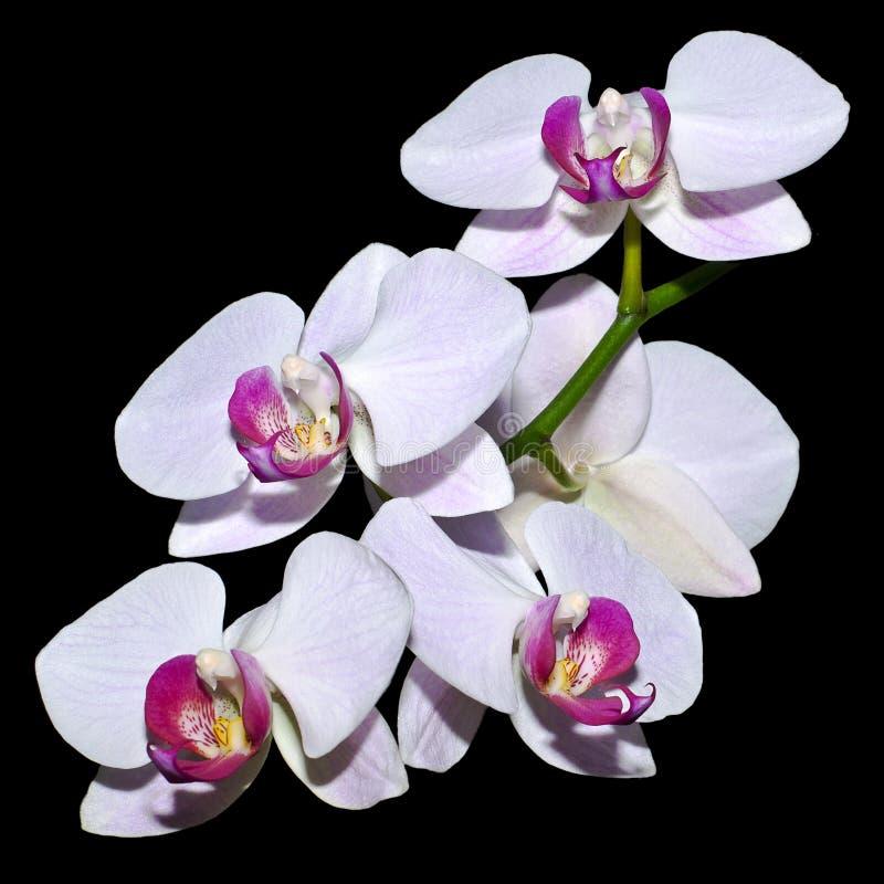 Cinco orquídeas cor-de-rosa em um ramo fotografia de stock royalty free